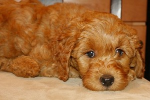 Mini labradoodle puppy available in red, cream apricot chocolate in Oregon, Washington and Idaho and California.