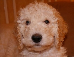 Standard male from Molly's litter is available. He loves to be held. He's quiet and loving.