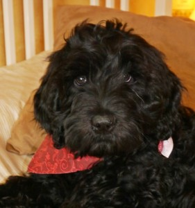 Oregon breeder of black standard Australian Labradoodle puppies in Washington too.