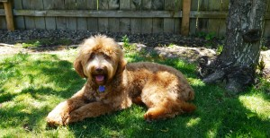 Oregon labradoodle puppies available, standards in red, cream, black, caramel and chocolate.