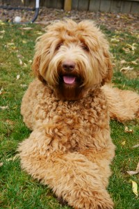 Standard labradoodle puppies in Oregon, Washington, California.
