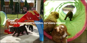 Labradoodle puppies California and Oregon.
