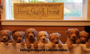 Oregon and Washington labadoodle standard puppies in Portland and Salem.
