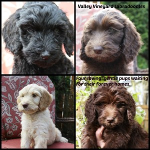 Australian Labradoodle puppies available in black and chocolate in Washington and Oregon.