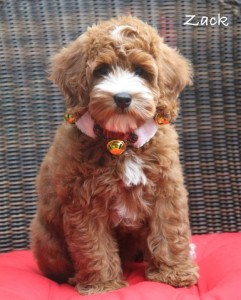 Mini Australian Labradoodle in Oregon red and apricot.