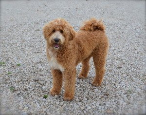 Vancouver Washington Labradoodle puppies in Oregon.