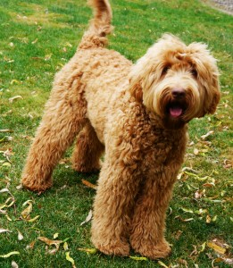 Seattle and Vancouver and Portland standard labradoodle puppies in Oregon and Washington.