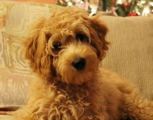 Labradoodle puppies breeder Oregon guardian homes