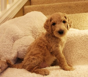 Caramel cream labradoodle puppies available now in Idaho Salem and Portland Oregon.