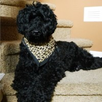Black labradoodles puppies standard Oregon Seattle Porland