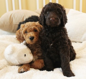 Australian Labradoodle puppies multi-gen Portland Oregon and Seattle.