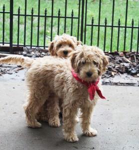 Australian Labradoodles puppies breeder Oregon
