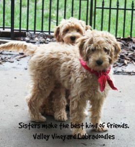 Labradoodle Puppies Salem Portland Beaverton