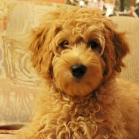 Australian Labradoodle puppies available now Oregon Washington