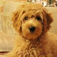 Australian Labradoodle puppies available now Oregon Washington