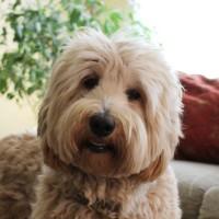 Labradoodle puppies available now medium standard Oregon Washington