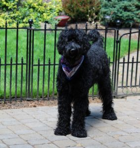 Oregon standard black labradoodles