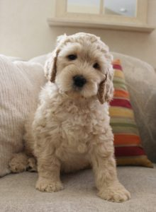 Labradoodle puppies available black cream standards mediums Oregon