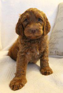 Labradoodle breeders puppies available Washington Oregon