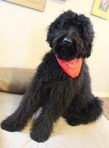 Black Australian Labradoodle puppies standard Portland Seattle
