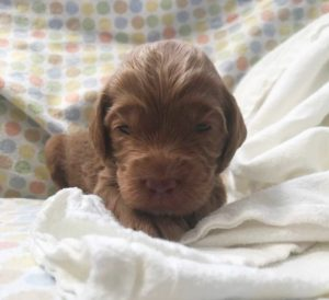Australian labradoodle breeders pacific northwest black puppies