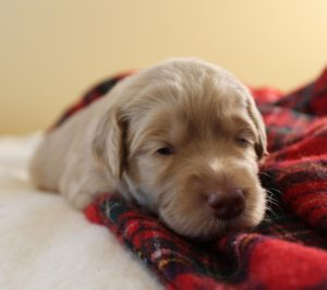 labradoodle breeders Portland Seattle Pacific Northwest Oregon