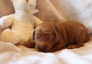standard size labradoodle puppies Oregon Portland Salem Sherwood