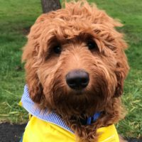 Oregon Labradoodle breeders Portland puppies