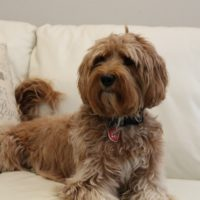 Pacific Northwest best labradoodle puppies best breeder Oregon
