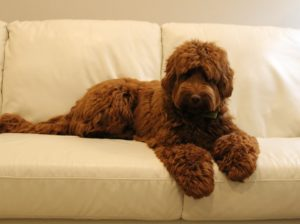Oregon Red australian Labradoodle puppies