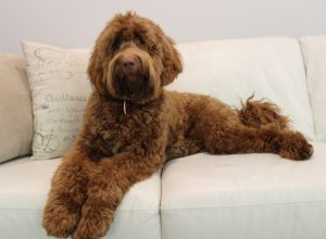 labradoodle stud service available