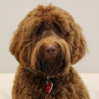 Australian labradoodle red stud standard Portland Oregon Washington