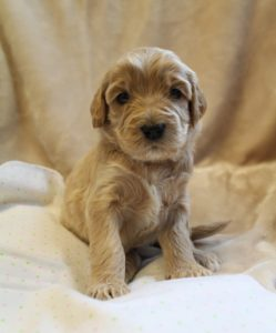 standara labradoodle breeders Oregon Washington puppies now