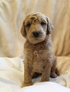 Oregon labradoodle breeders therapy puppies