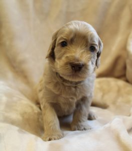 Oregon standard labradoodle puppies now