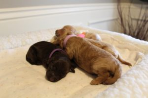 standard labradoodle puppies available Portland Salem Oregon