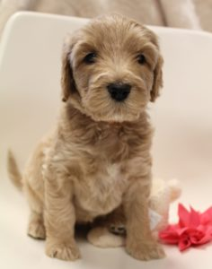 Oregon labradoodles available now