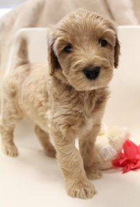 standard labradoodle puppies now Oregon