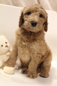 Oregon labradoodle puppies