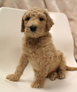 standard labradoodle breeders Oregon Washington Idaho