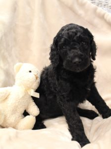 Salem Oregon labradoodle breeders