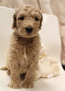 Portland Salem Seattle Beaverton labradoodle breeders puppies now