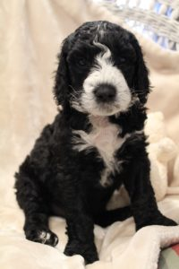 Washington labradoodle breeders