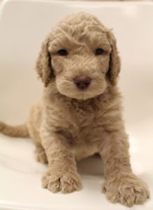 Salem Oregon labradoodle breeders Newberg