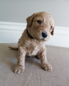 Oregon standard labradoodle puppies