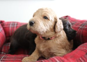 Oregon standard labradoodle pupppies now
