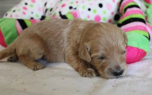 standard labradoodle puppies available now