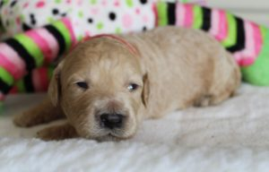 australian labradoodle breeders Washington Oregon