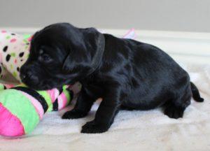 Portland Oregon labradoodle breeders standard size puppies