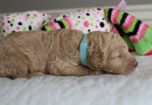 Washington standard labradoodle puppies available